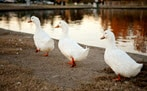 Three ducks next to a lake
