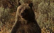 Bear in a field